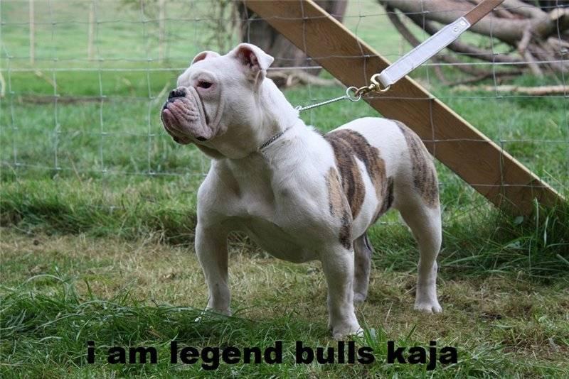 Английский бульдог: все о собаке, фото, описание породы, характер, цена