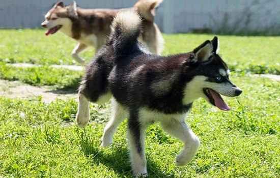 Аляскинский кли-кай (мини хаски, миниатюрный хаски): фото, купить, видео, цена, содержание дома
