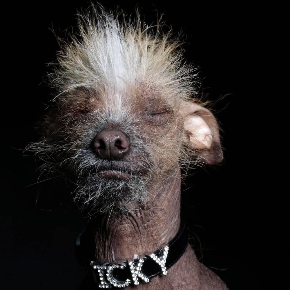 ᐉ 8 самых страшных и некрасивых пород собак в мире: описание и стоимость - kcc-zoo.ru
