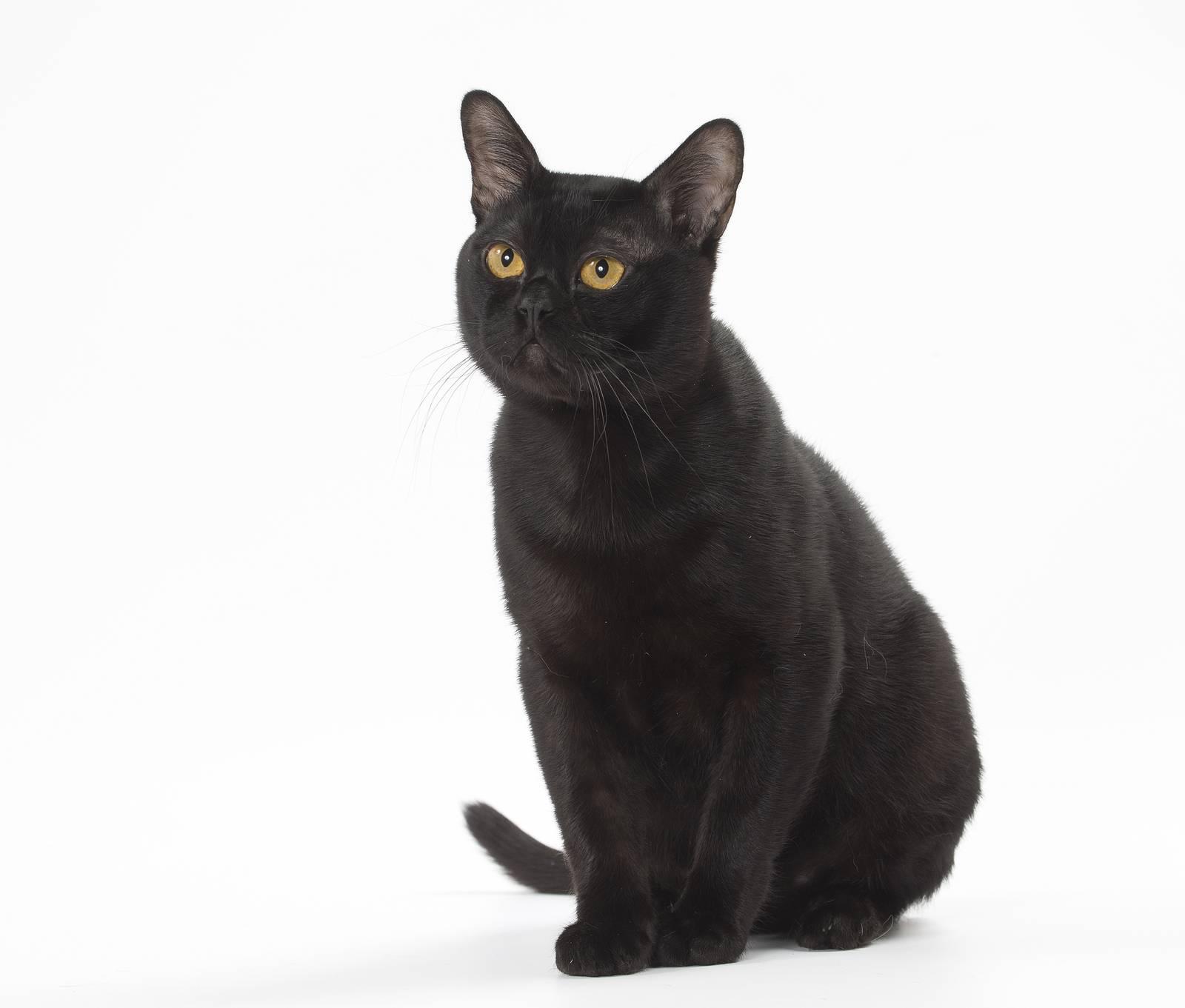 Бомбейская кошка – одна из самых редких пород в россии