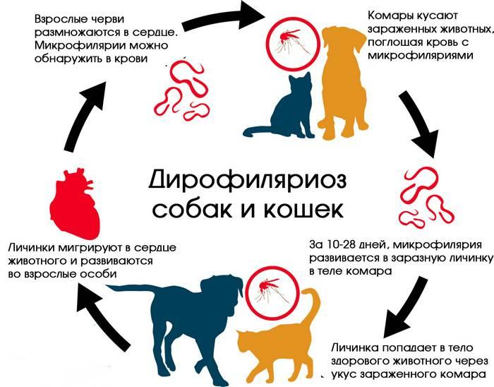 Болезнь ауески собак: симптомы, клинические признаки, лечение