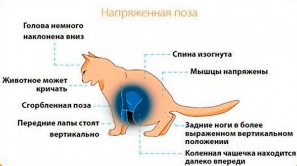 Опухоли мочевого пузыря у кошек