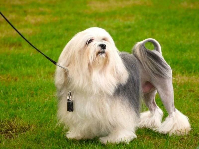 Левхен собака. описание, особенности, виды, характер, уход и цена породы левхен | животный мир