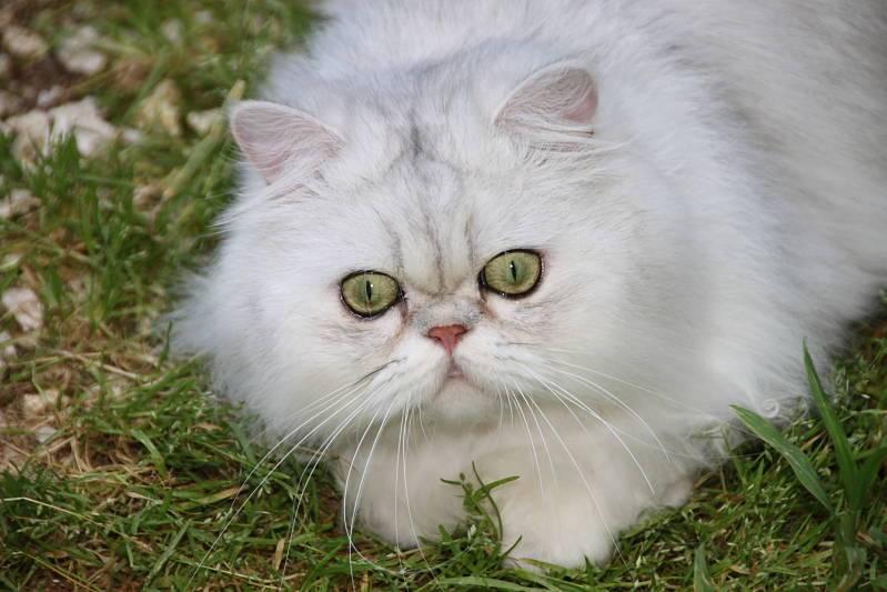 Персидская шиншилла: описание породы и характер кошек