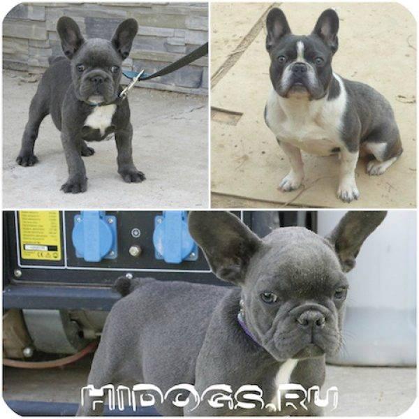 Французский бульдог: описание породы, характер, его плюсы и минусы, а также как выбрать щенка и как ведет себя взрослая собака