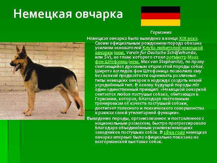 Немецкая овчарка: описание, характеристика породы, фото, характер и отзывы