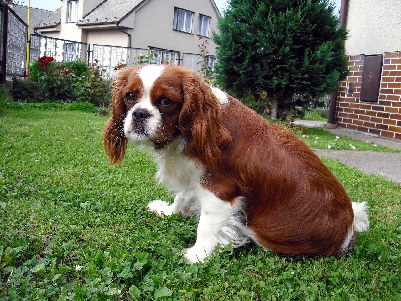 Кавалер кинг чарльз спаниель (фото): истинный джентльмен в мире собак - kot-pes