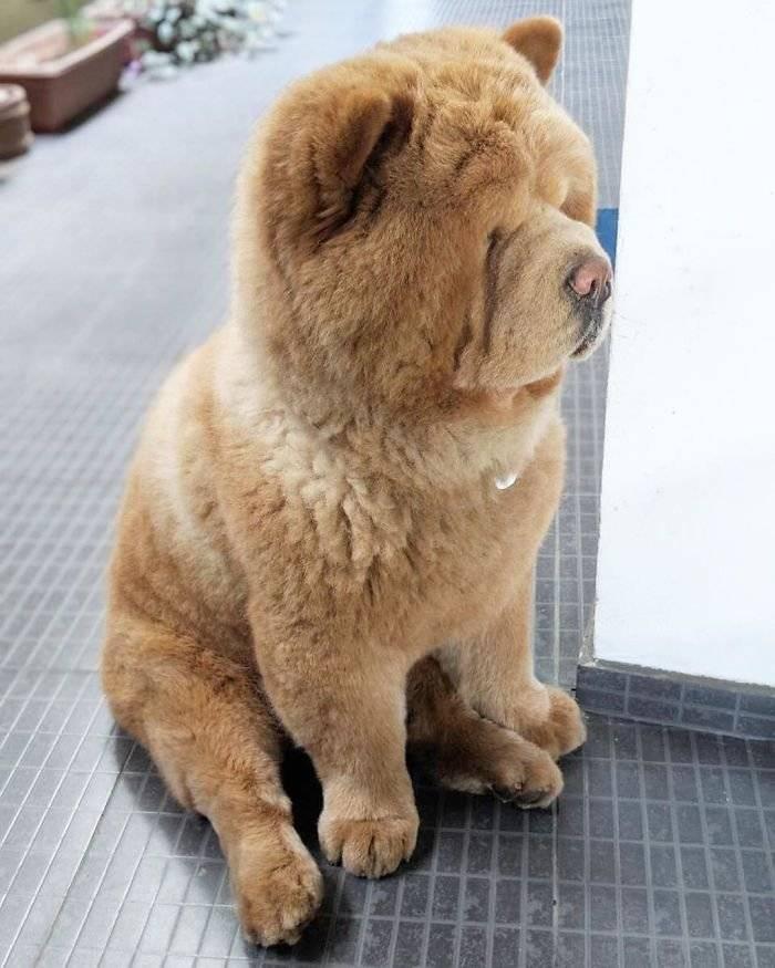 Померанский шпиц: особенности собаки похожей на медвежонка, ее характер и уход за ней