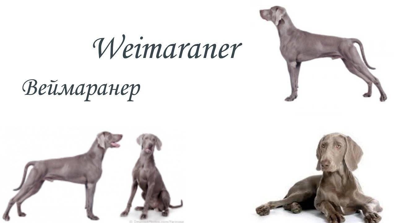 Веймаранер: отзывы. «главный плюс и минус веймаранеров – безмерная преданность»