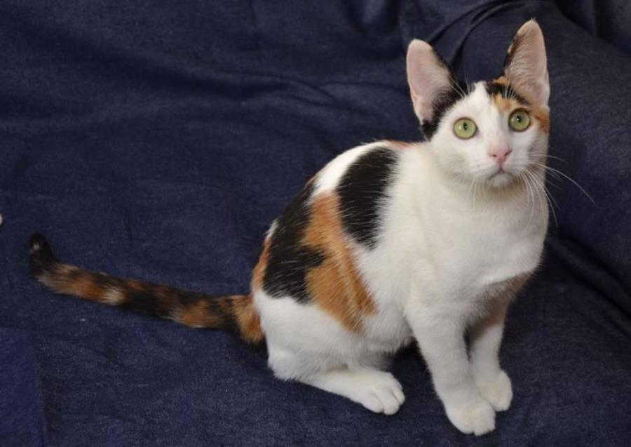 Анатолийская кошка — описание и стандарты породы, фото, содержание