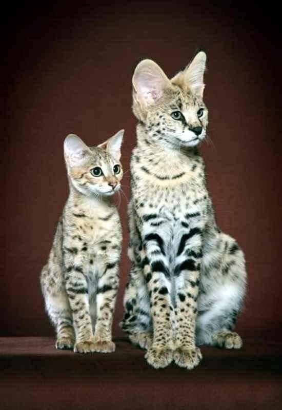Топ-20 самых дорогих кошек в мире
