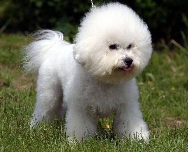 Собака болоньез (итальянская болонка): описание породы, особенности содержания, отзывы