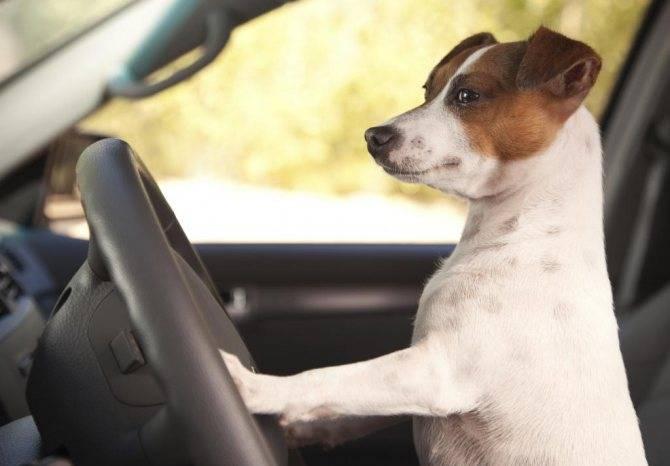 Собаку укачивает в машине – что делать?