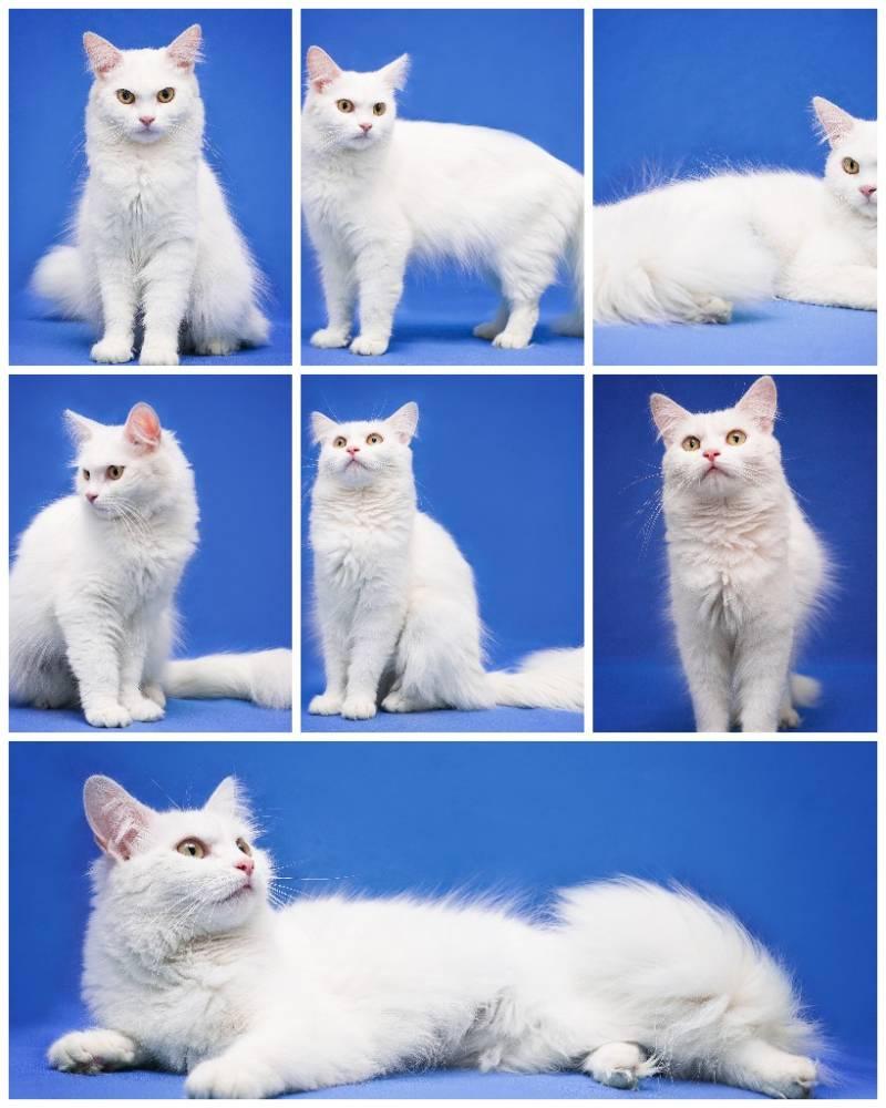Ангорская кошка (ангора турецкая)