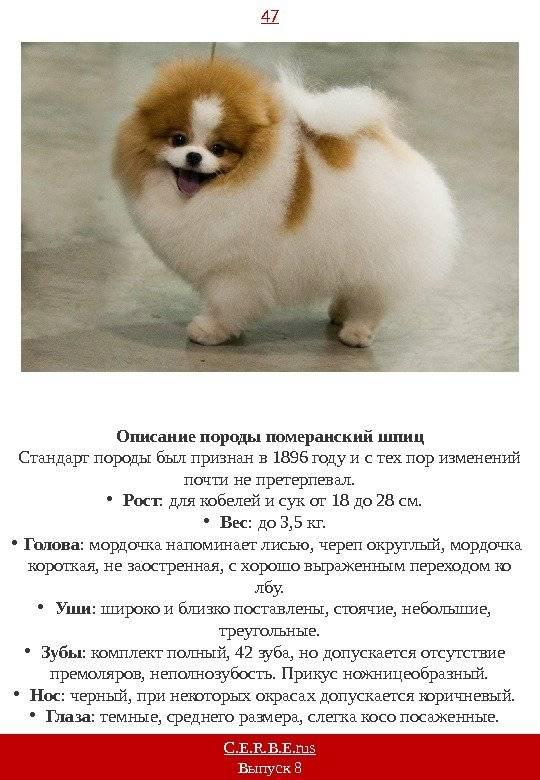 Немецкий шпиц — все о породе собак от а до я. 150 фото красивой и декоративной собачки. характер, отзывы, цена щенков, описание