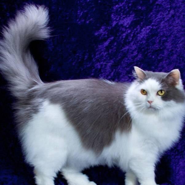 Порода кошек рагамаффин: описание внешнего вида и характера