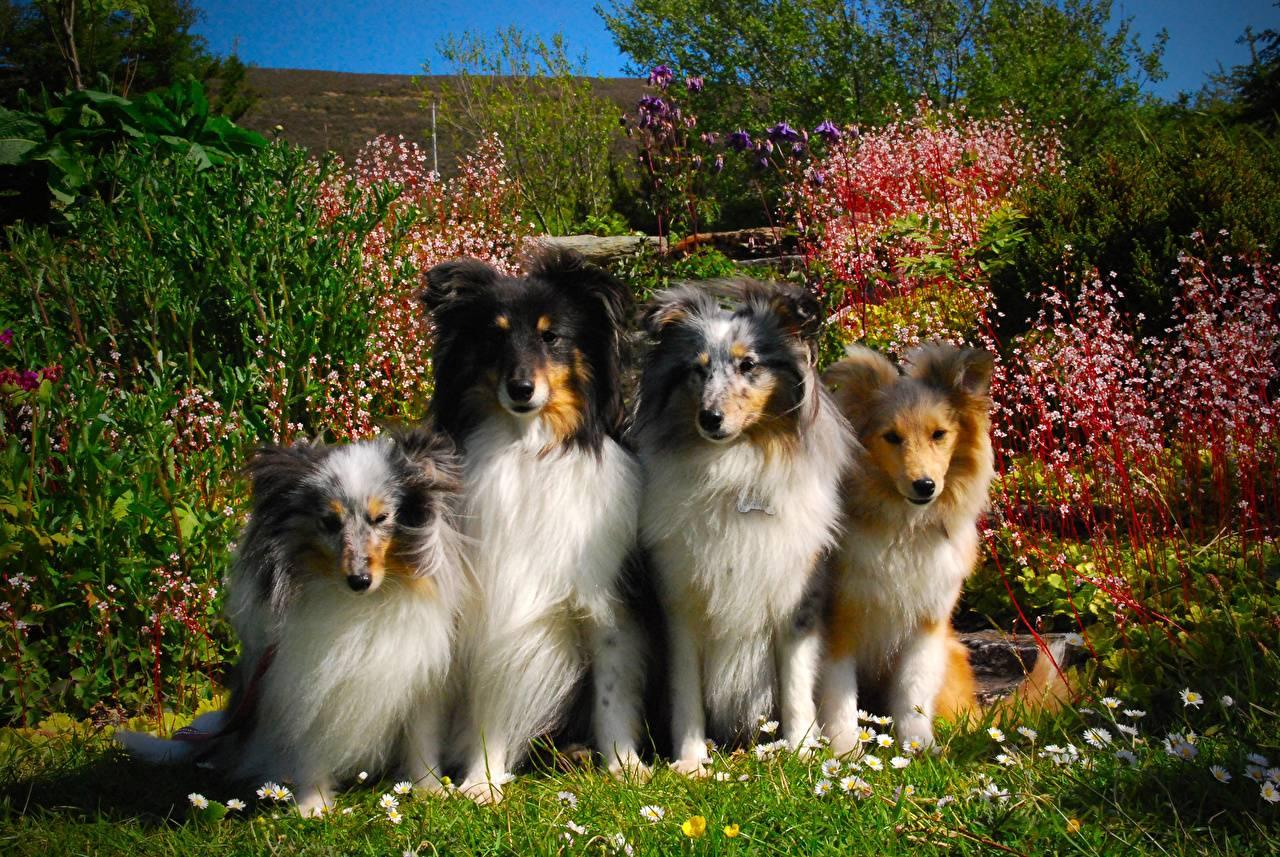 Шотландская овчарка: описание, характеристика, виды