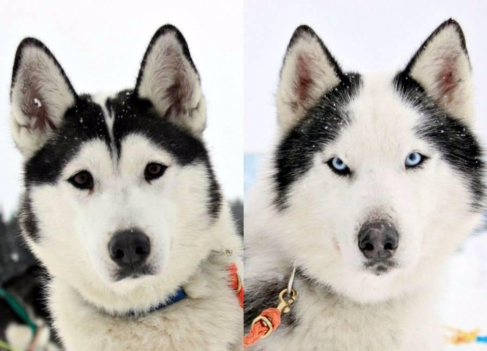 Собаки похожие на хаски (31 фото): какие породы рыжих и белых собак похожи на них? как называются большие и маленькие собаки, которые похожи на хаски?