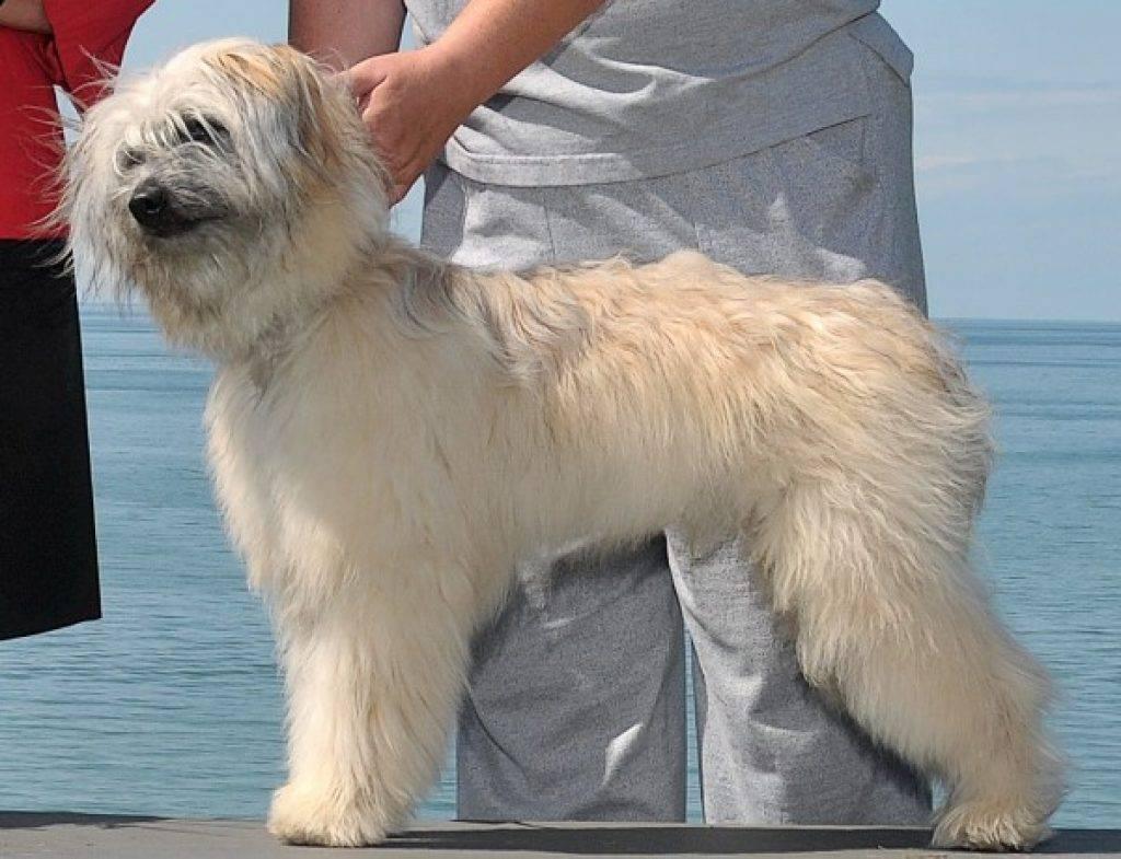 Пиренейская горная собака – как правильно содержать и ухаживать, рекомендации по дрессировке