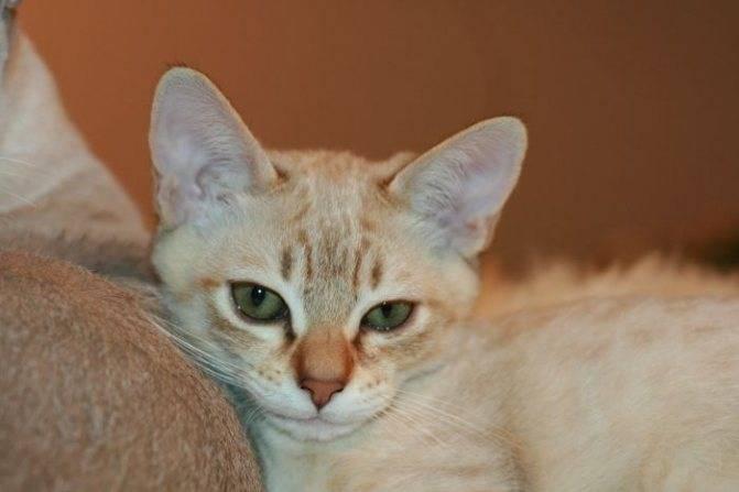 Австралийский мист — описание породы и характер кошки