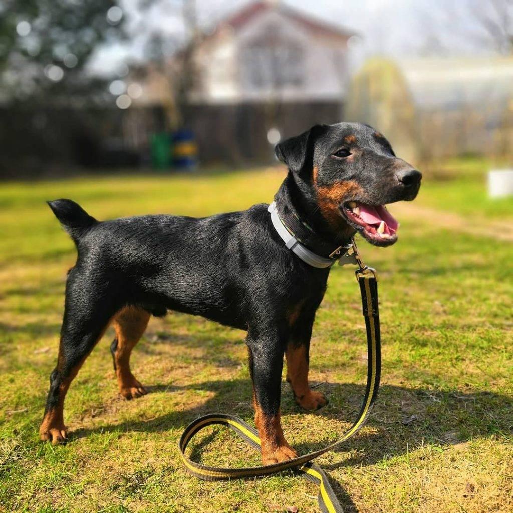 Немецкий ягдтерьер: 105 фото, обзор особенностей и характеристики собаки