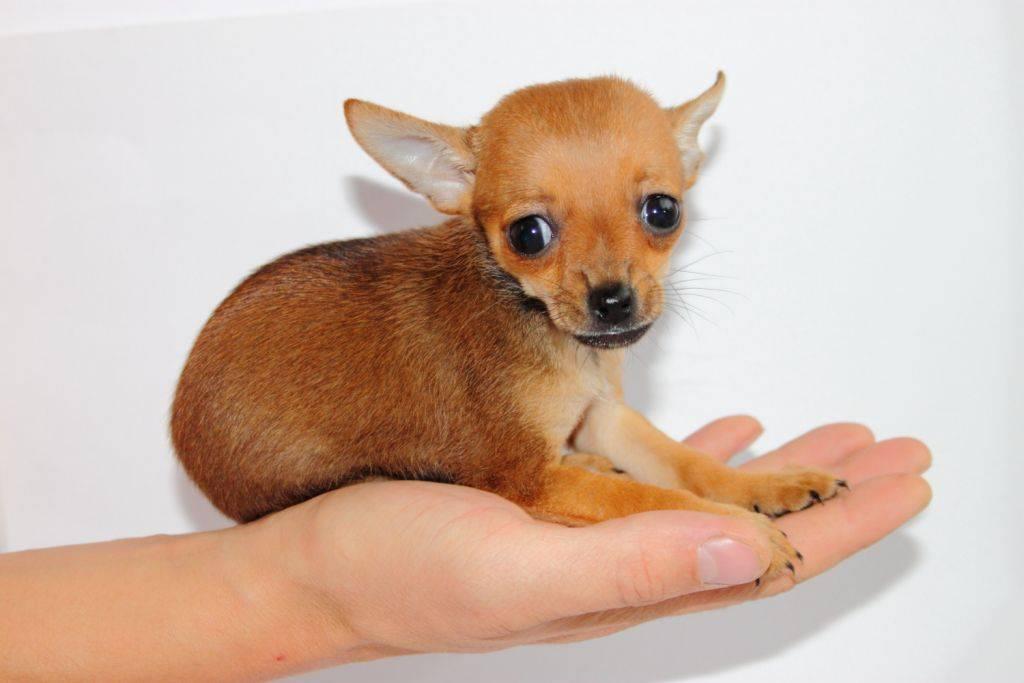 Йоркширский терьер мини (супер мини): все о породе карликовой собаки, фото, характер, размер