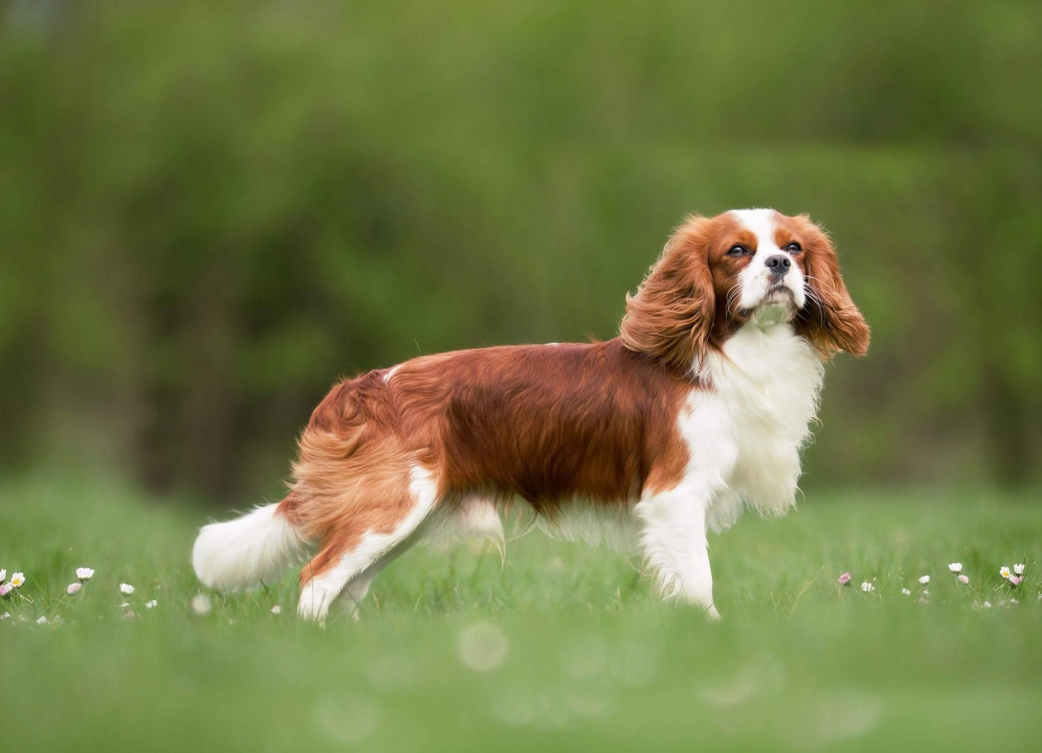 Кинг чарльз спаниель (той спаниель) — порода собаки