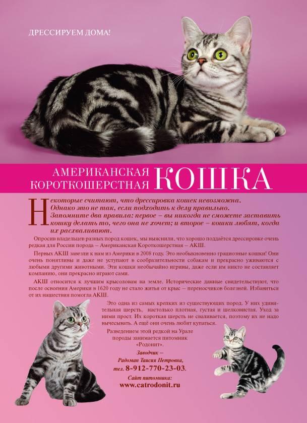 Европейская короткошёрстная кошка (кельтская кошка)