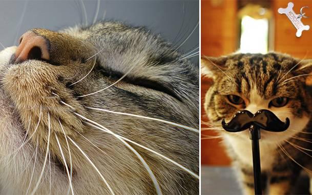 Сколько времени отрастают усы у кошки