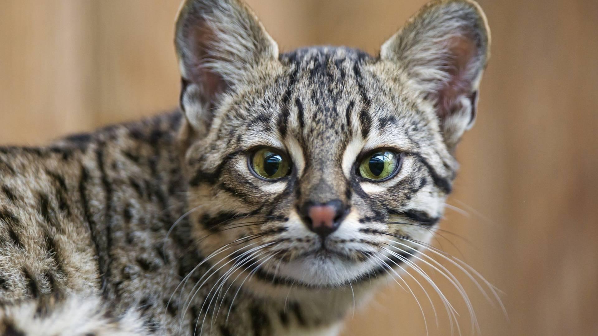 Чаузи кошка. описание, особенности, характер, содержание, уход и цена породы чаузи | живность.ру