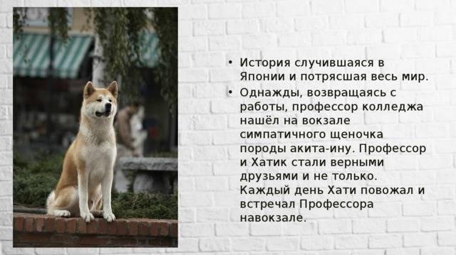 Порода хатико: какая собака снималась в фильме
