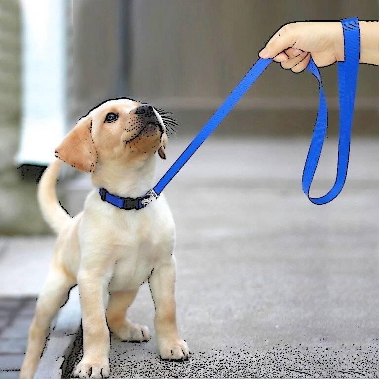 Как приучить собаку к поводку?