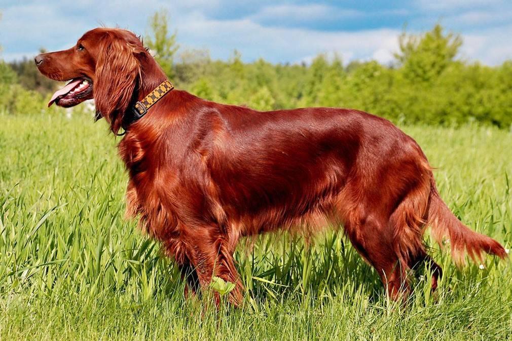 Ирландский сеттер - порода собак - информация и особенностях   хиллс
