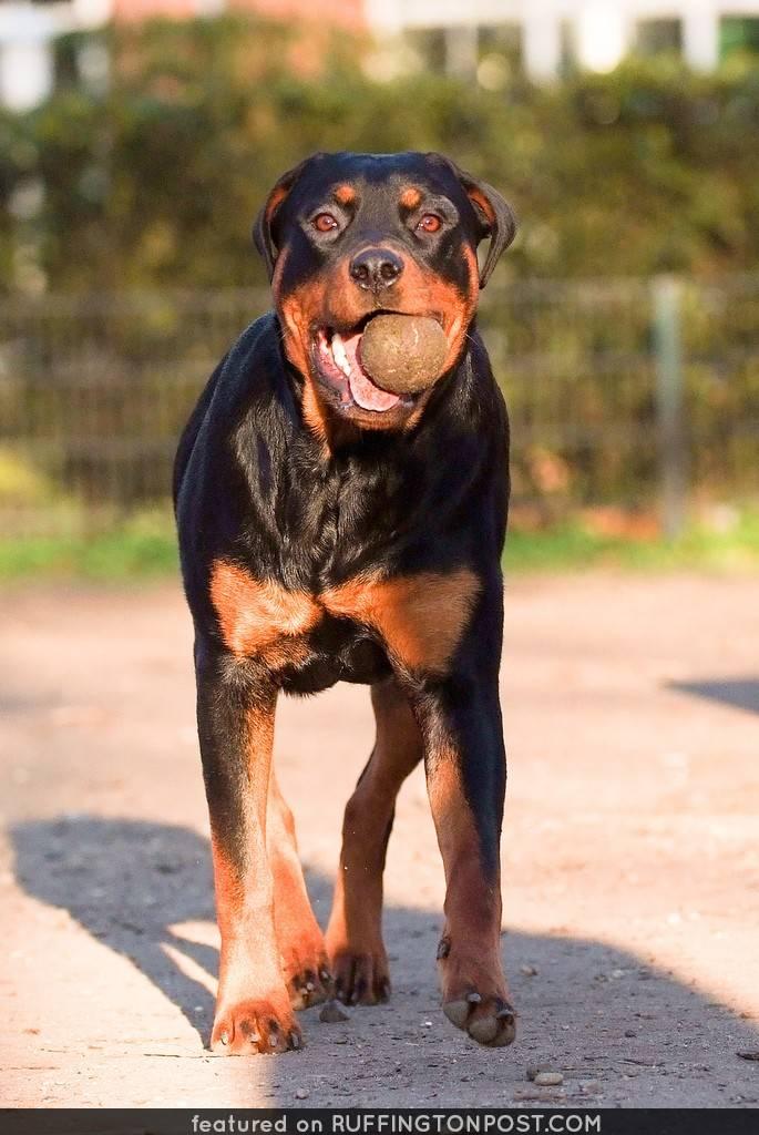Самые агрессивные породы собак в мире: топ 10