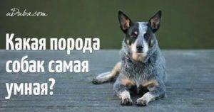Топ-10 самых умных пород собак в рейтинге zuzako на 2021 год