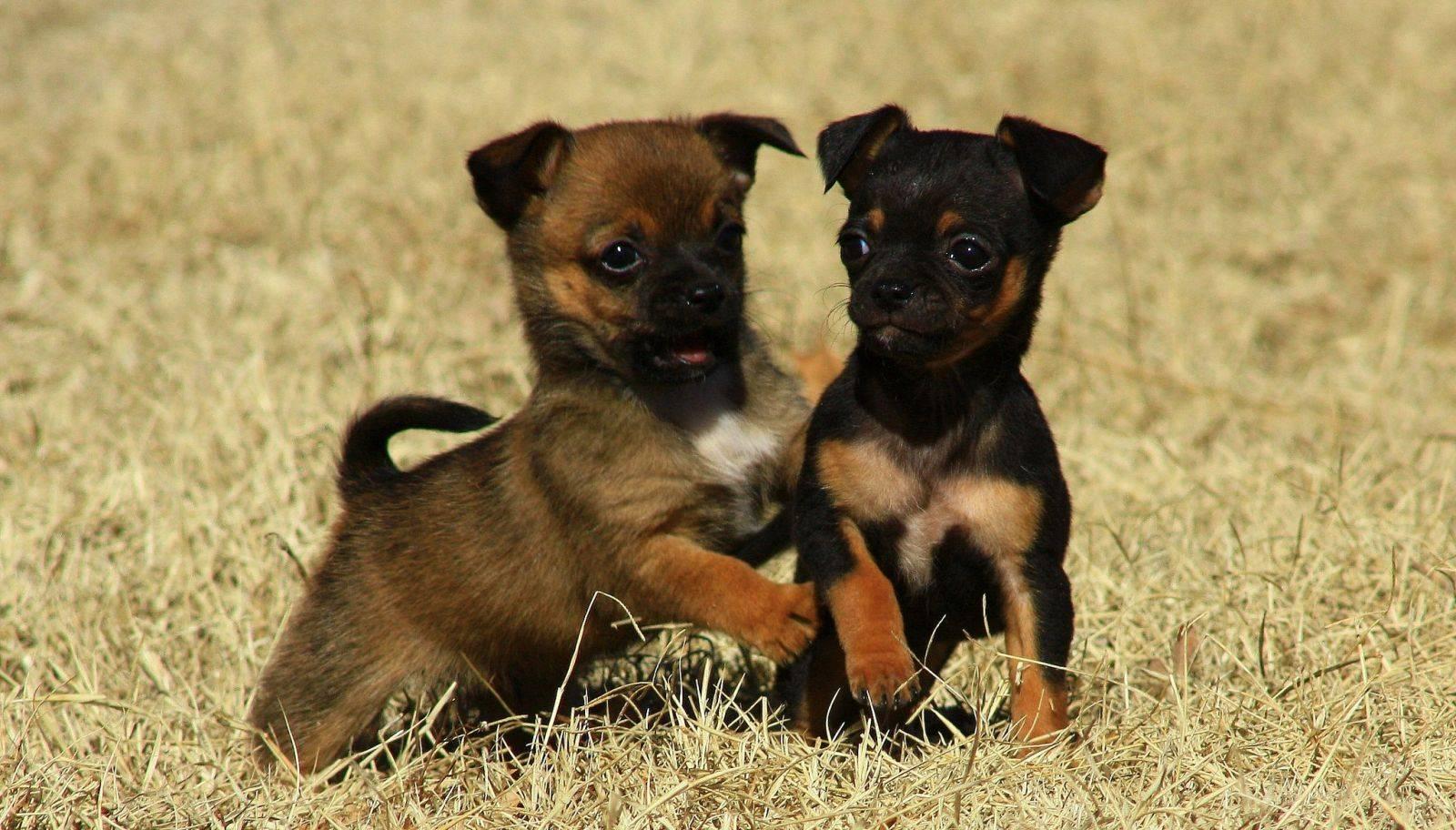 Маленькие породы собак: популярные породы, полный список.