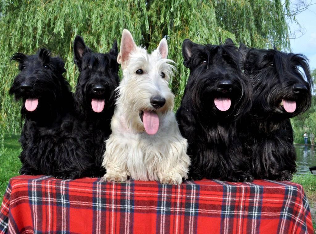 Порода собак скотч терьер — самая знаменитая порода мелких терьеров