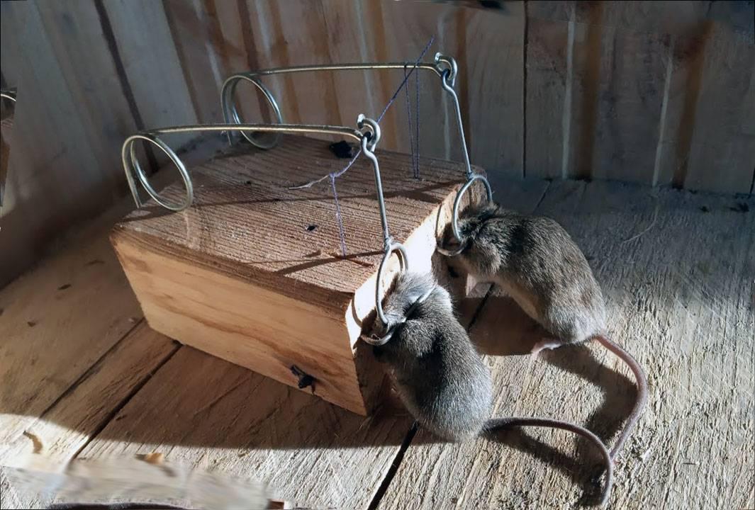Коты-крысоловы: названия пород, их описания и фото кошек-крысоловок