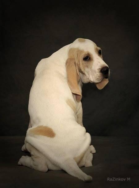 Гончая шиллера (шиллерстёваре): описание породы, характер, фото | все о собаках