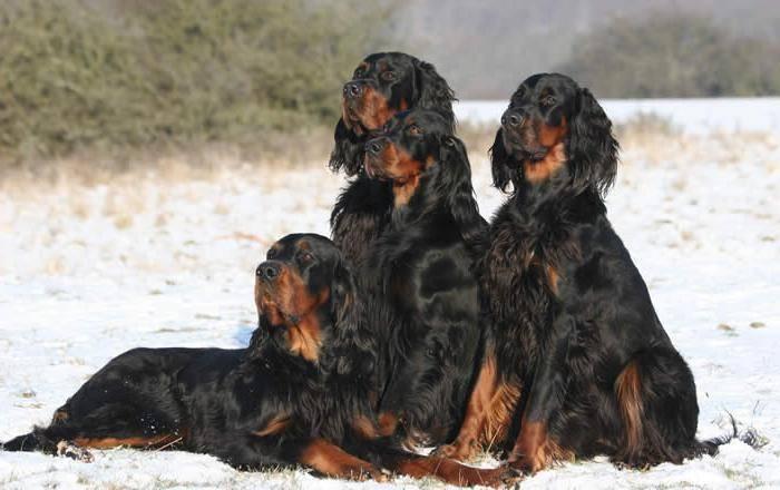 Сеттер гордон собака. описание, особенности, уход и цена породы