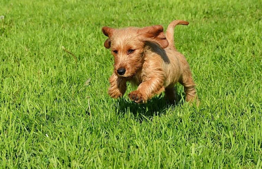 Рыжий бретонский бассет — характеристика и описание породы | все о собаках