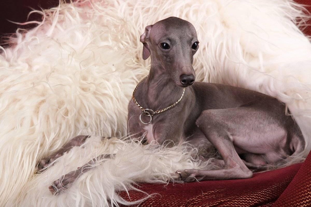 Порода древних собак грейхаунд – английская борзая
