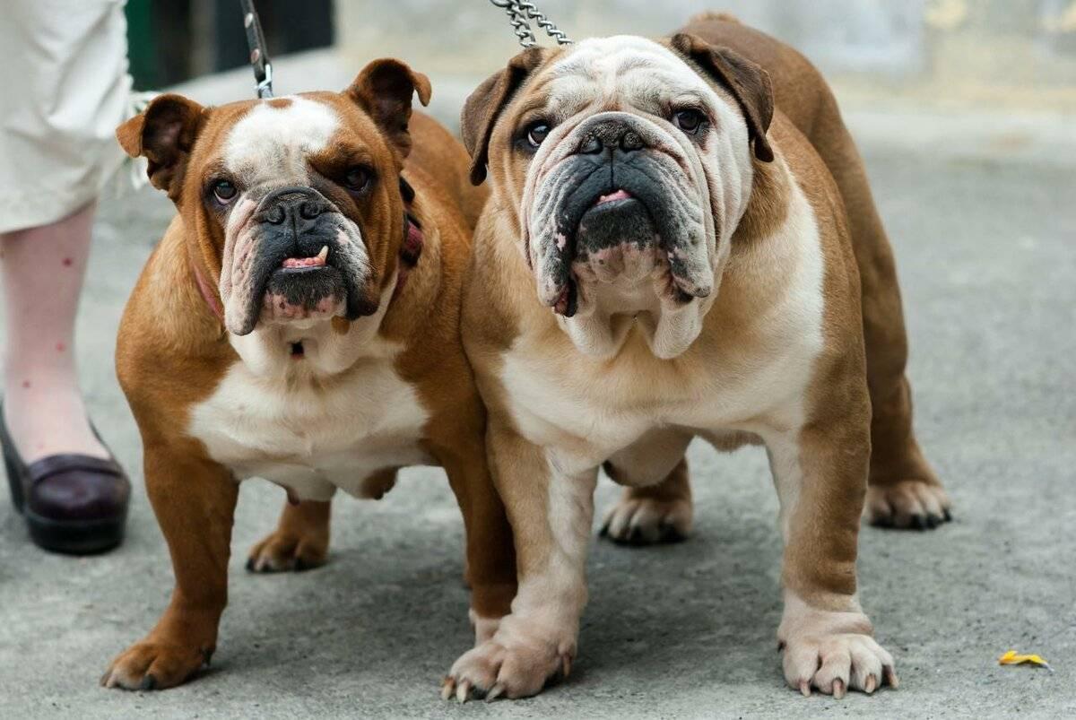 Самая тяжелая собака в мире - топ-10 пород с описанием и фото