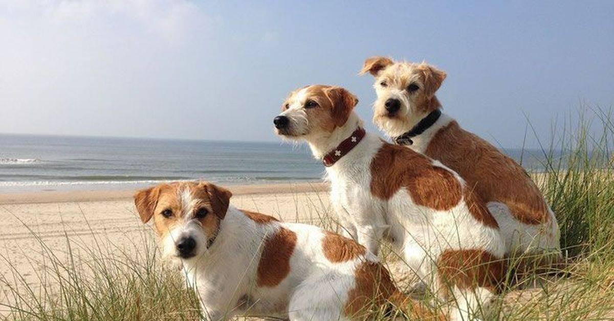 Комондор собака. описание, особенности, уход и цена породы комондор | sobakagav.ru