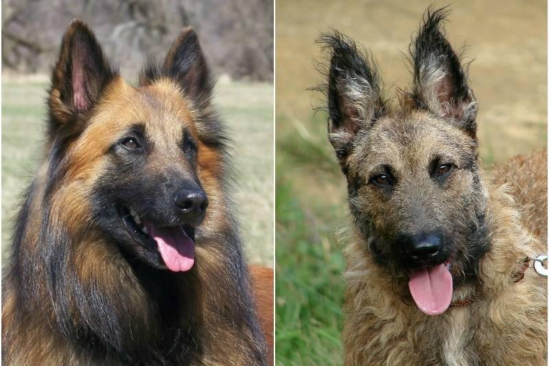 Охранные собаки: топ-10 пород для охраны дома – pet-mir.ru