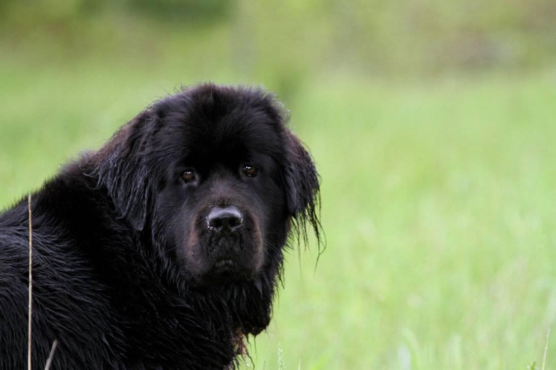 Все о породе собак ньюфаундленд