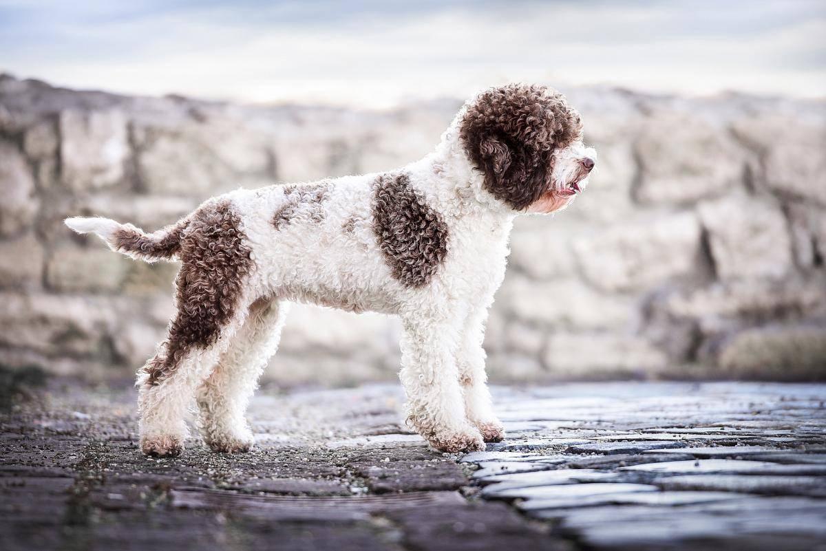 Лаготто романьоло(итальянская водяная собака) описание, плюсы и минусы, выбор щенка, питомники.