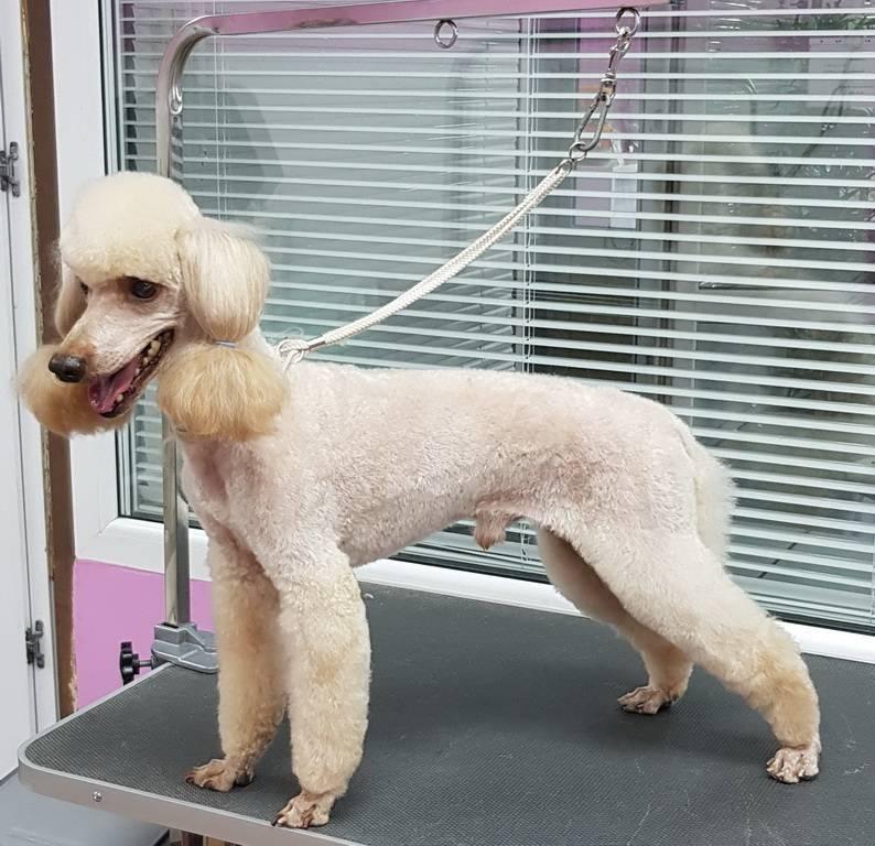 Стрижка пуделя – виды груминга для собаки, простые и сложные прически