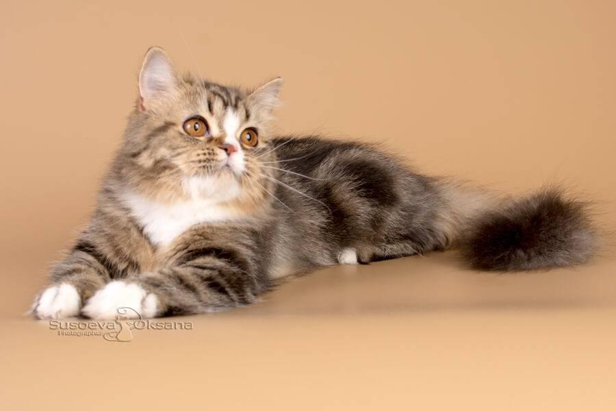 Кошка хайленд-страйт (фото): очаровательный длинношерстный шотландец