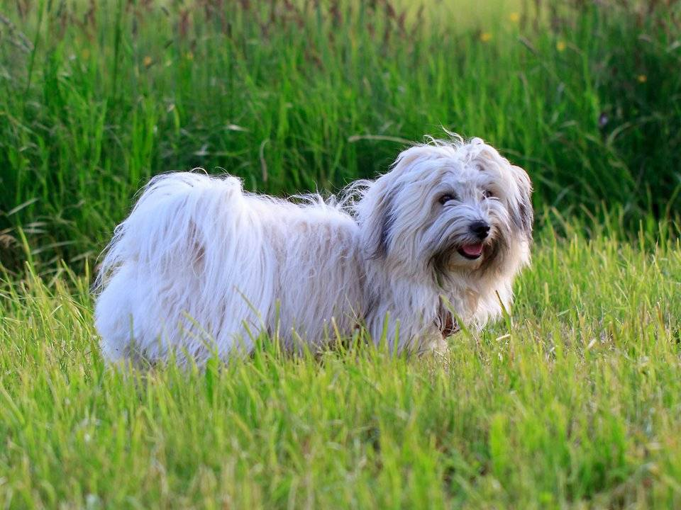 Котон-де-тулеар — характер и описание породы собаки